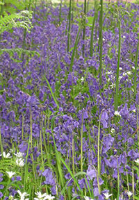 We vote to make this a national treasure! In May and June large swathes of Highland Perthshire are covered with Bluebells.